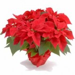 Tips: Caring For Your Poinsettia