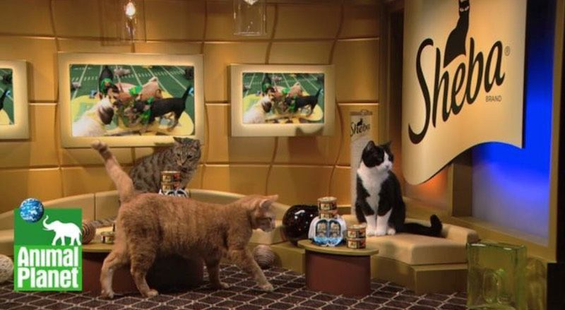 SASF Kittens On The Puppy Bowl!