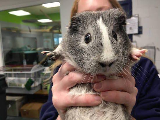mistletoe guinea pig