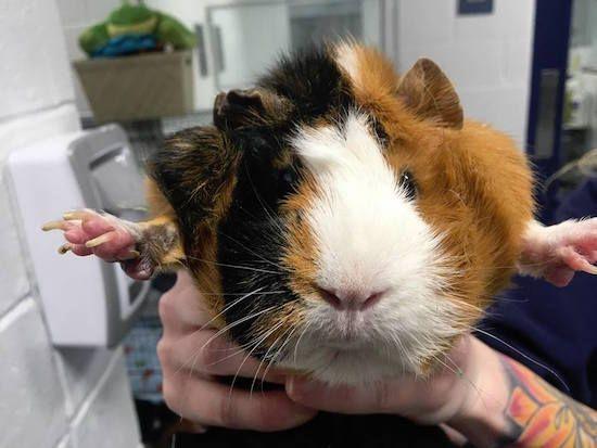 noel guinea pig