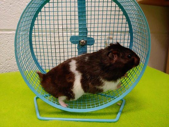 hammy hamster